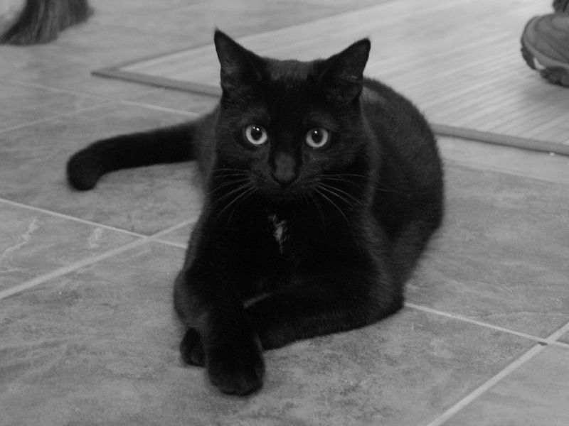 Приснился кот черный с белым