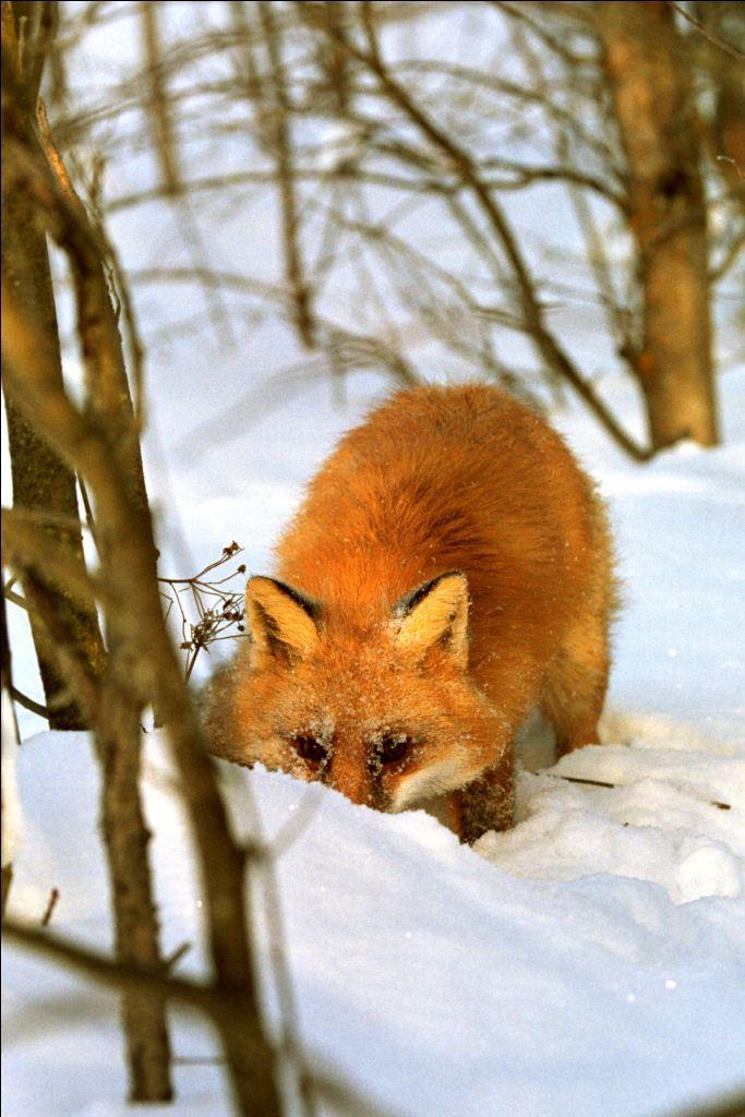 Древнегреческая сказка еж и лисица