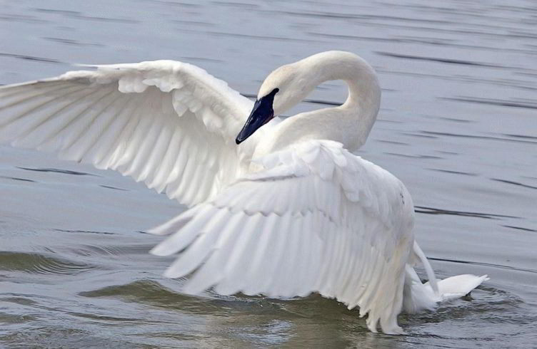 Картинки по запросу Лебедь