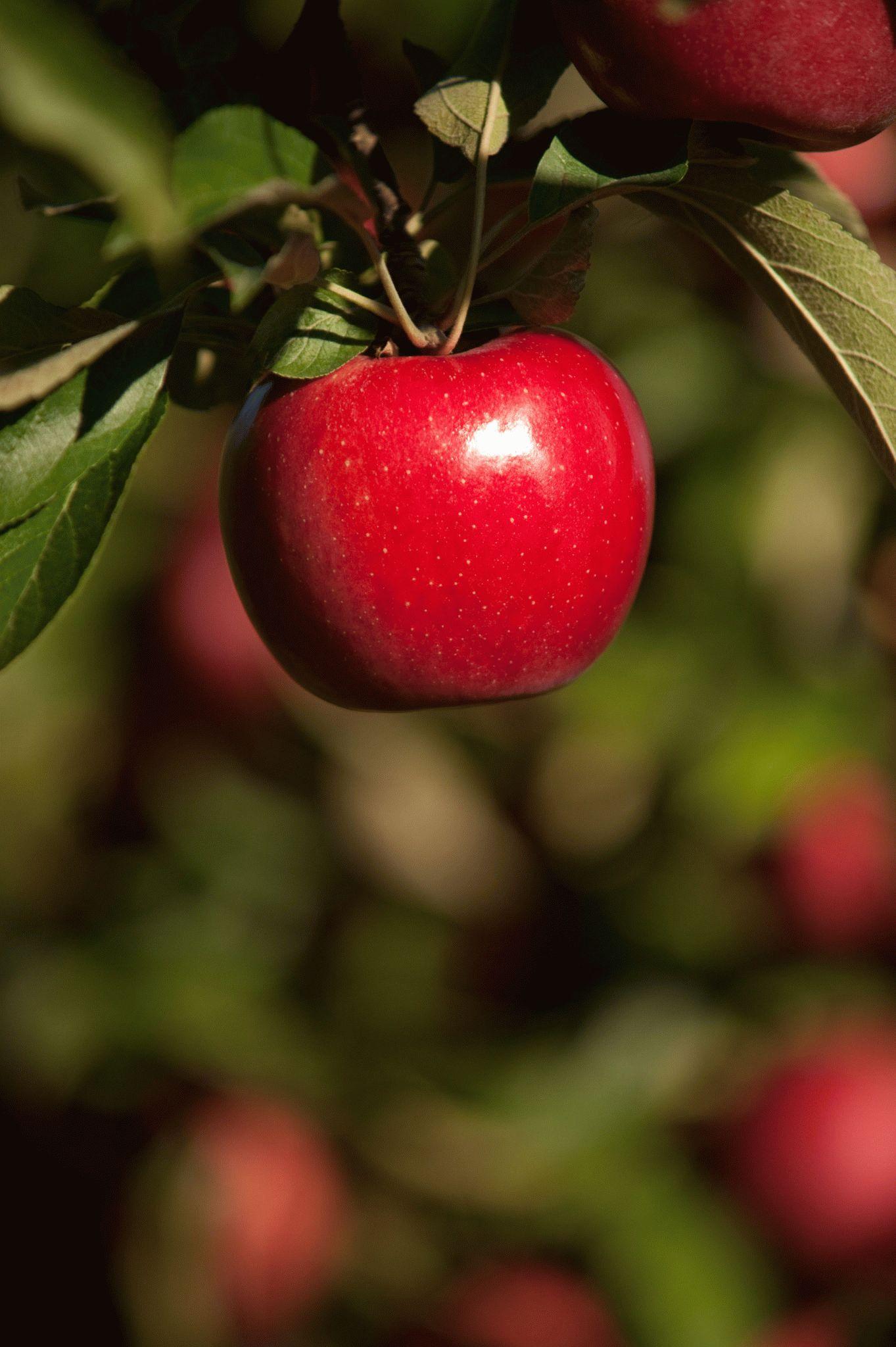 Как сделать приворот на яблоке фото 414
