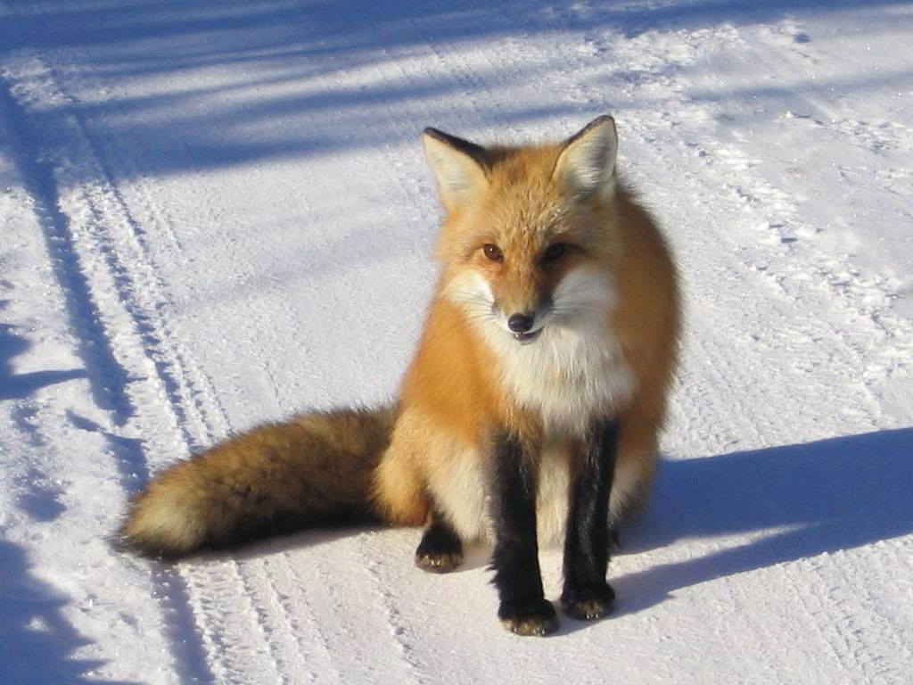 Тотемное животное лисица — хитроумный помощник