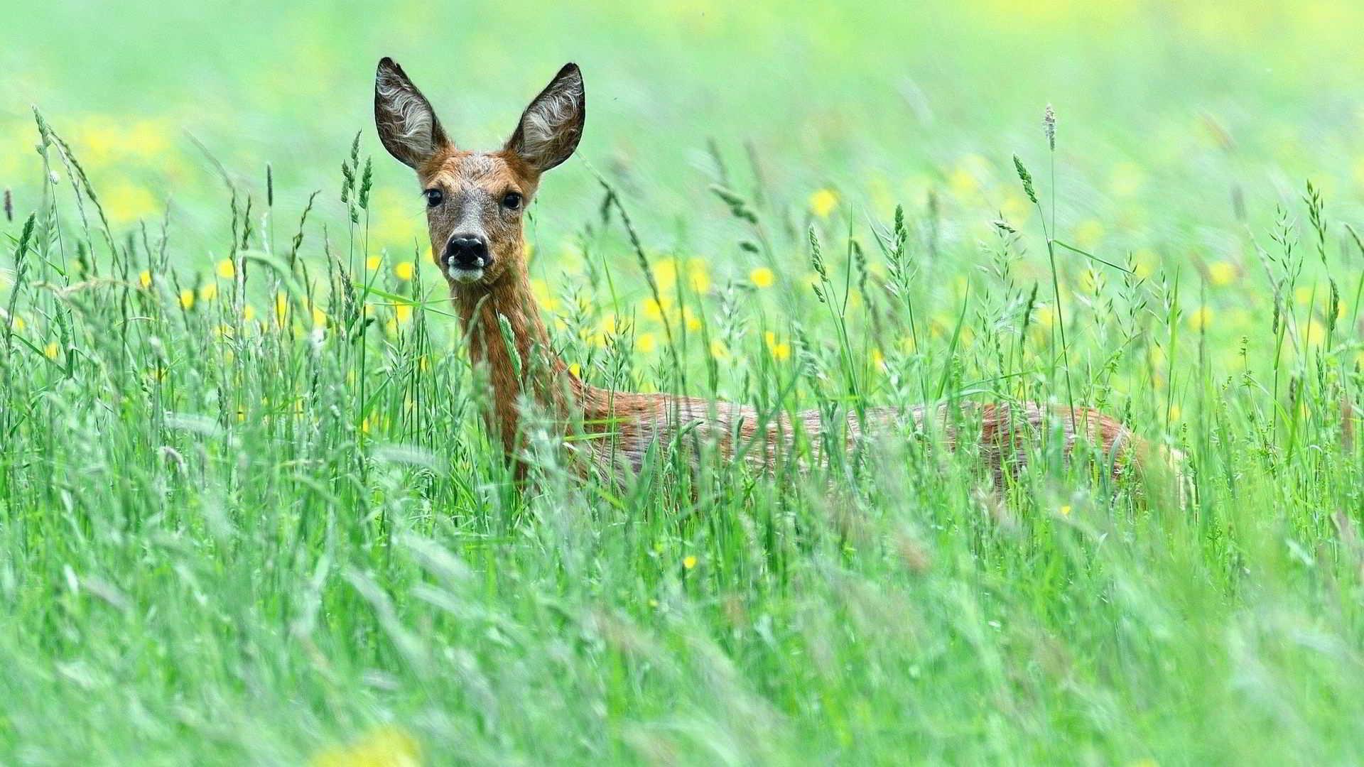 Тотемное животное Косуля – характеристика и значение
