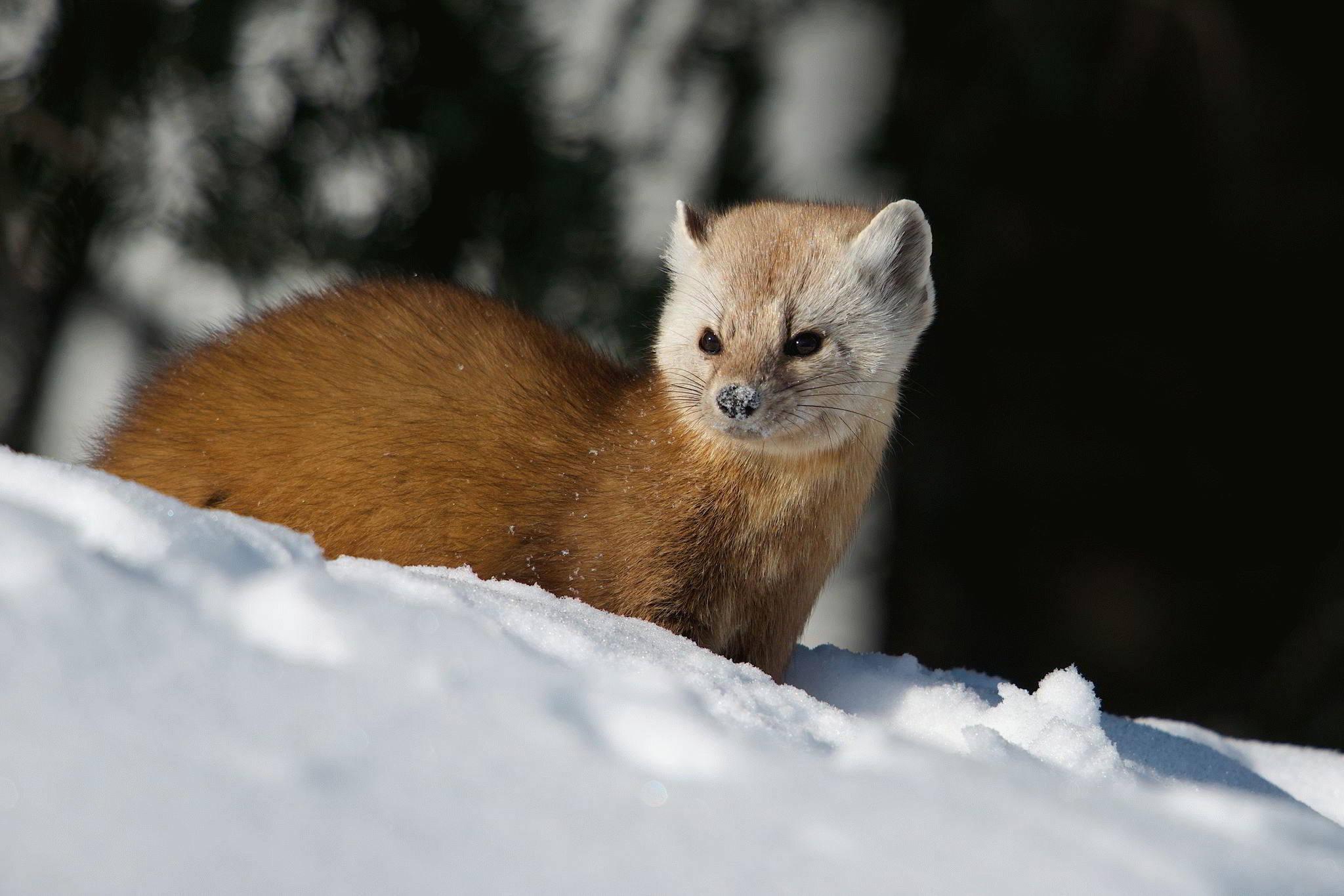 Тотемное животное Куница – характеристика и значение