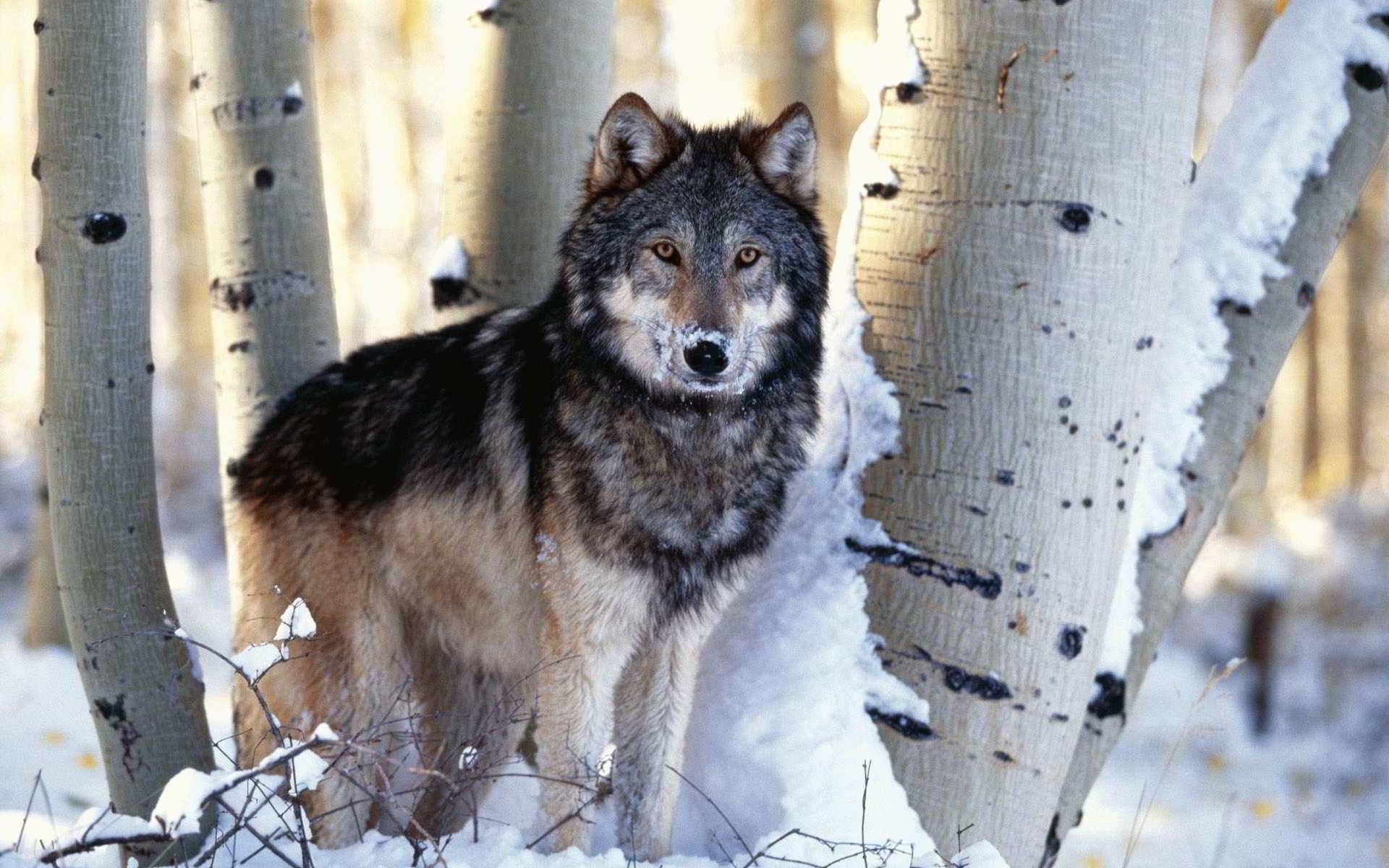 Тотемное животное волк что это значит?
