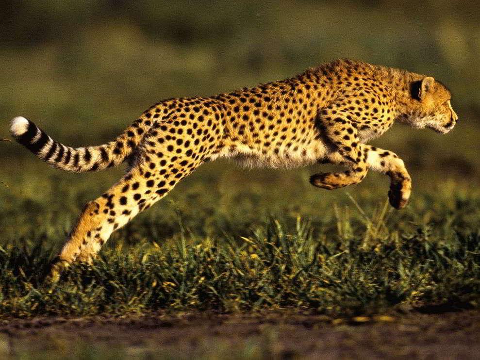 Мой тотем гепард – как заручиться поддержкой своего тотема