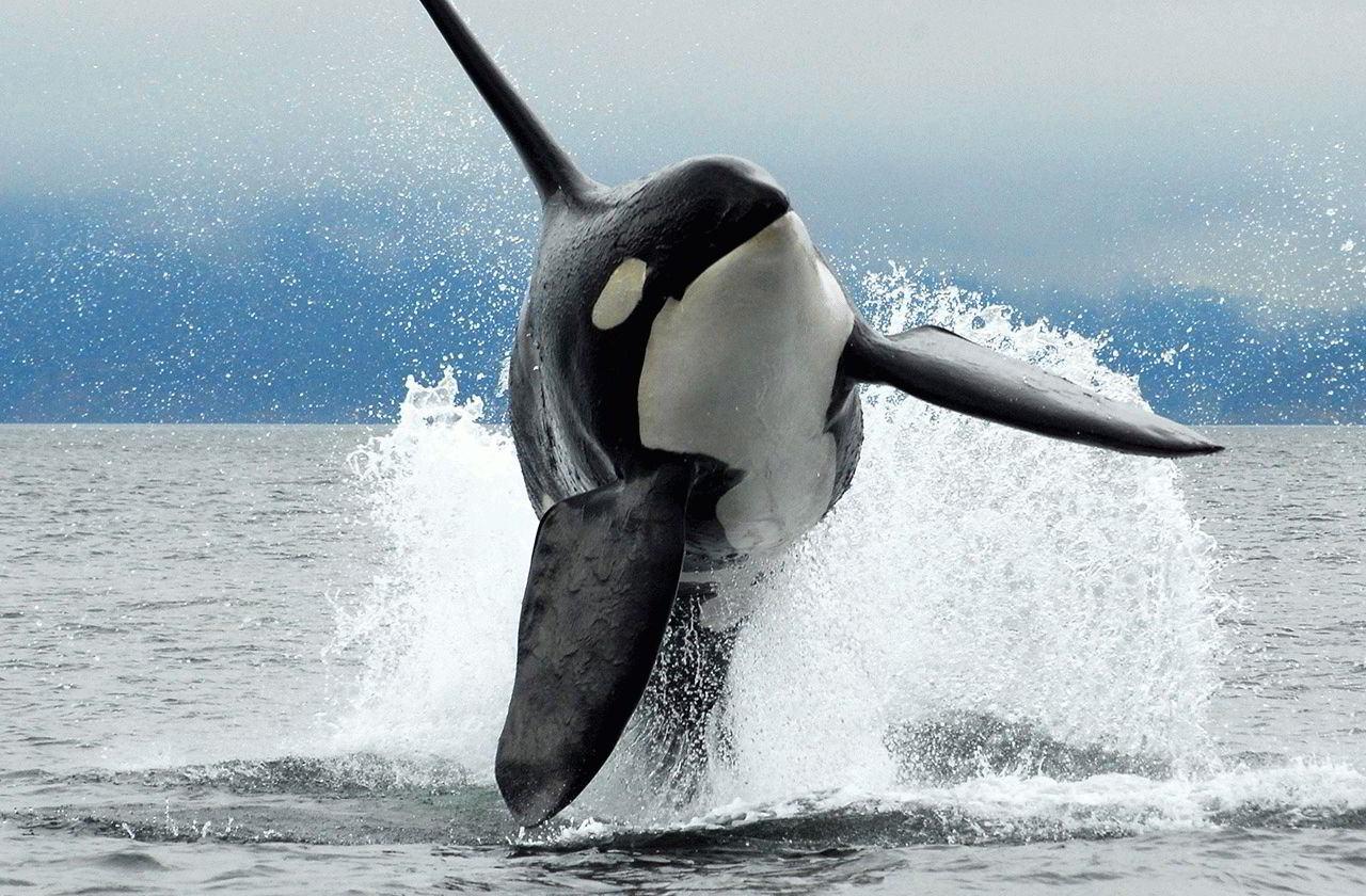 Характеристика тотемного животного кит