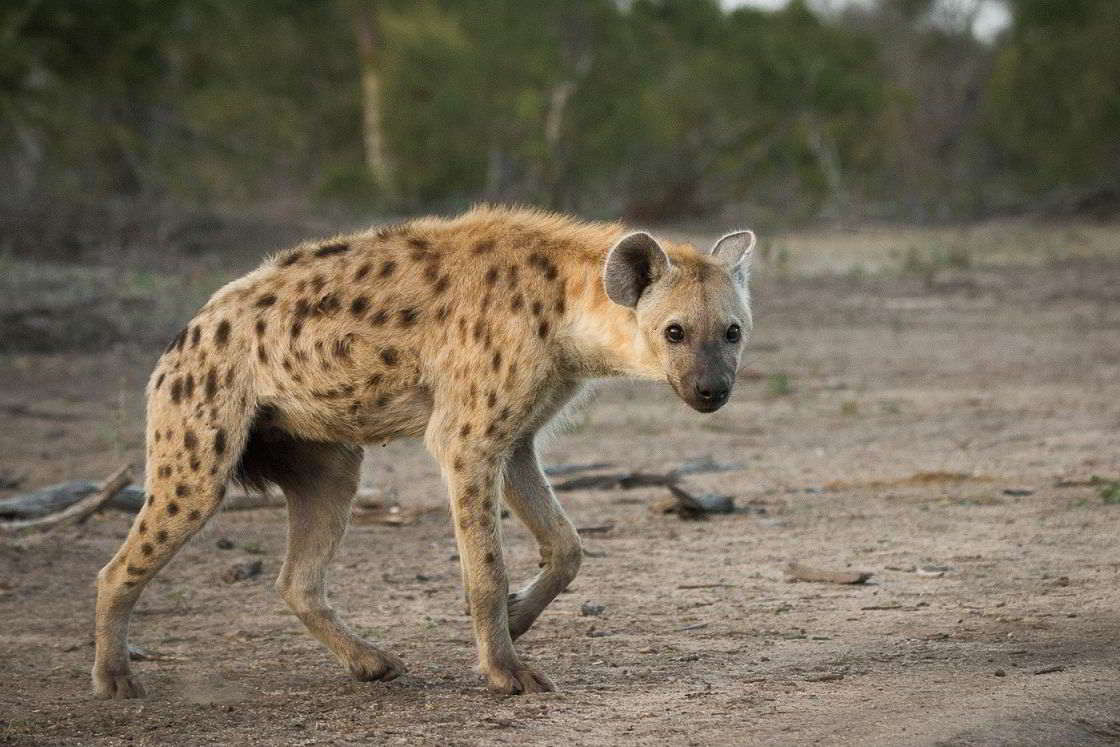 Тотемное животное гиена – характеристика и значение