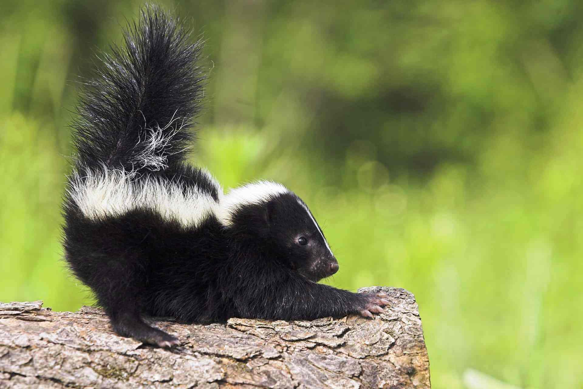 Какое тотемное животное может получиться из скунса?
