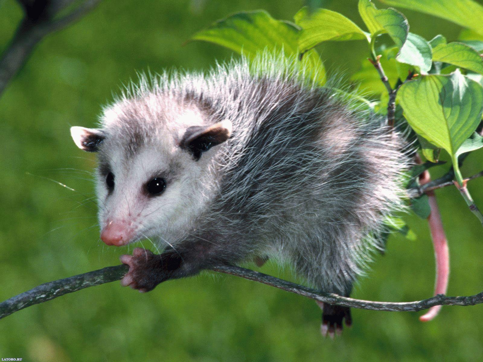 Тотемное животное Опоссум — характеристика и значение