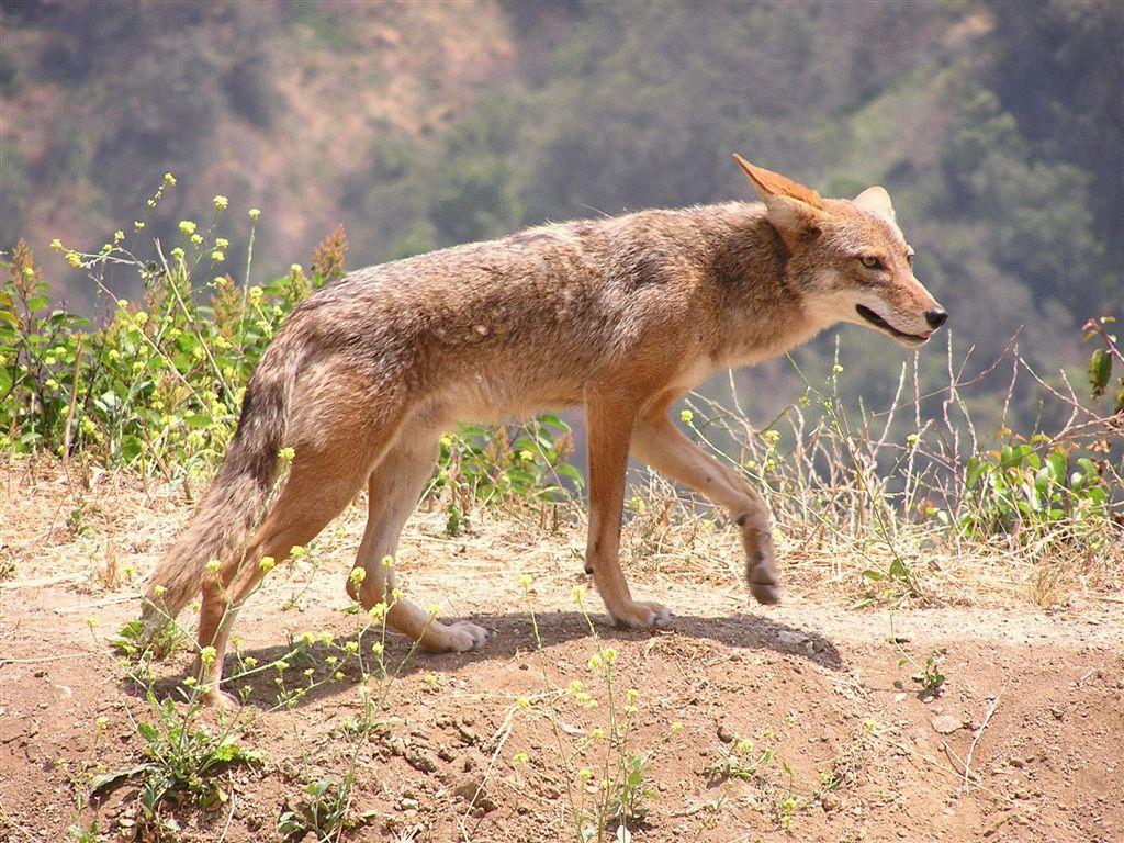 Тотемное животное Койот — характеристика и значение