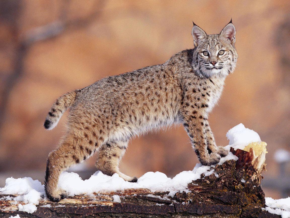 Тотемное животное Рысь – характеристика и значение