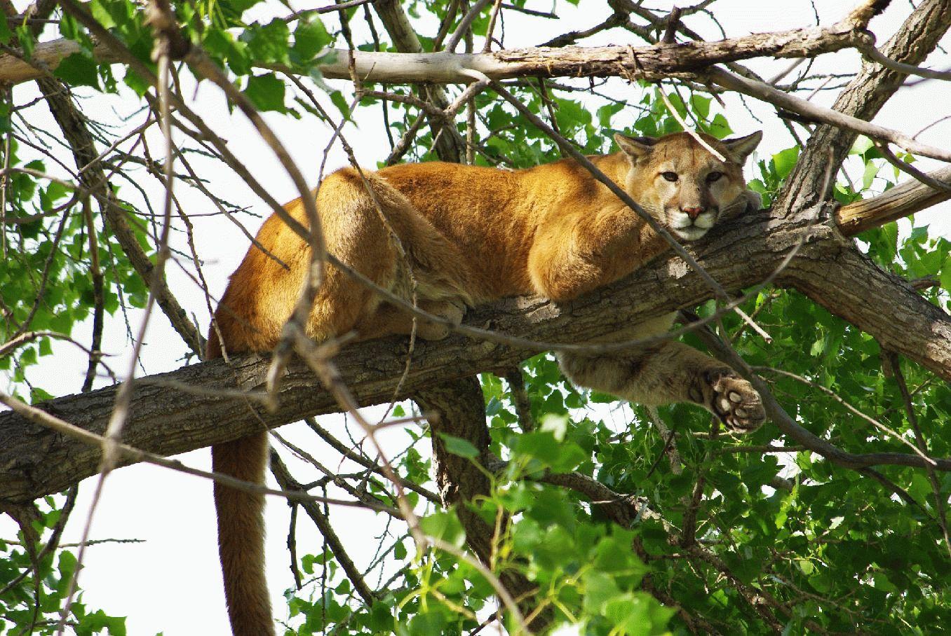 Тотемное животное Кугуар – характеристика и значение!
