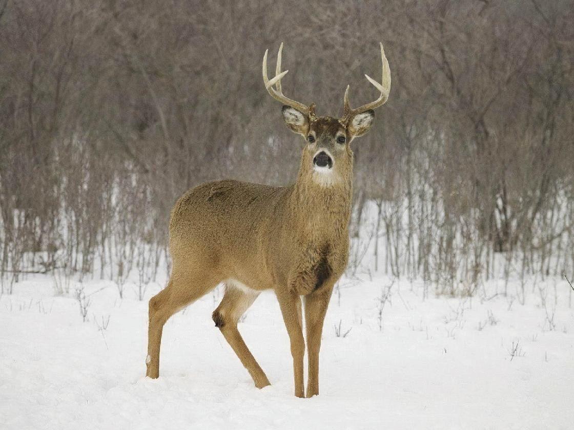 Тотемное животное Северный Олень – характеристика и значение