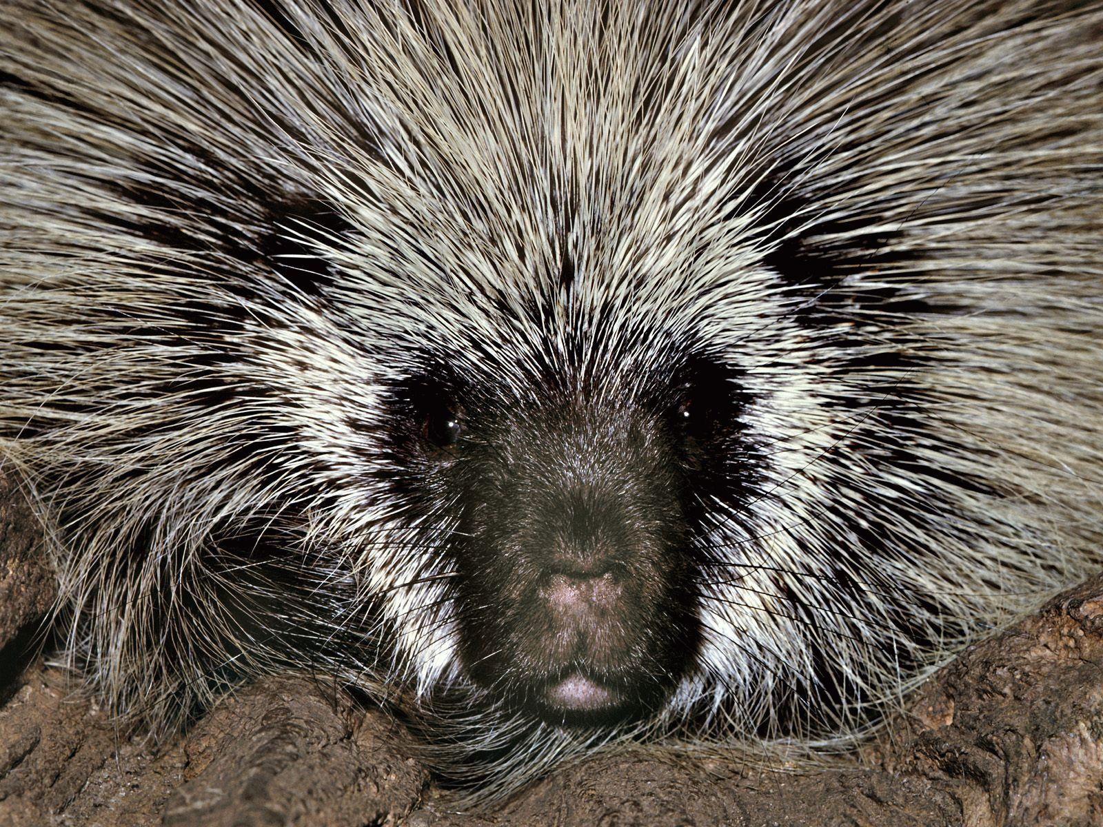 Тотемное животное Дикобраз — характеристика и значение