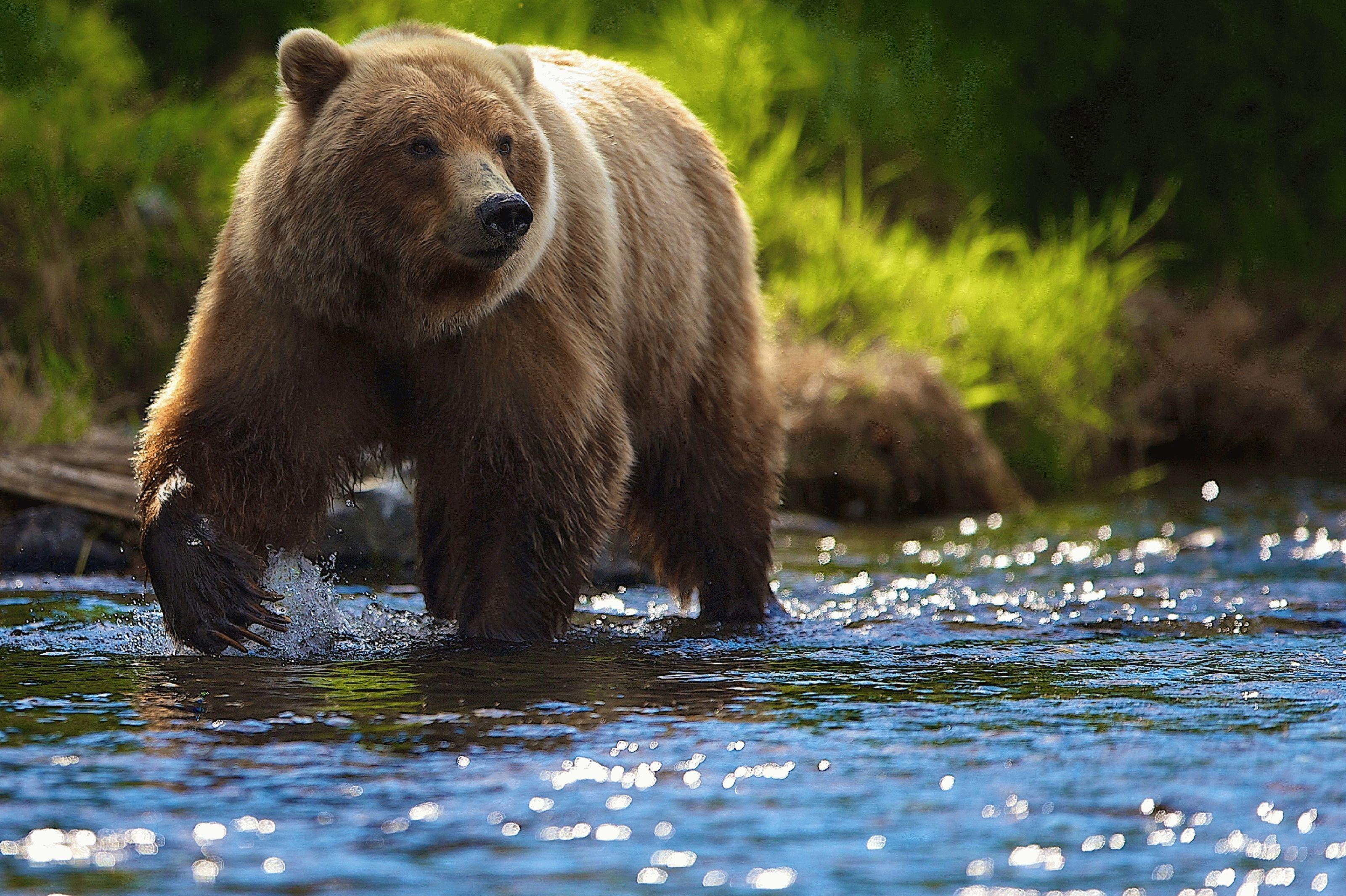 Тотемное животное Бурый Медведь – Самоанализ – характеристика и значение