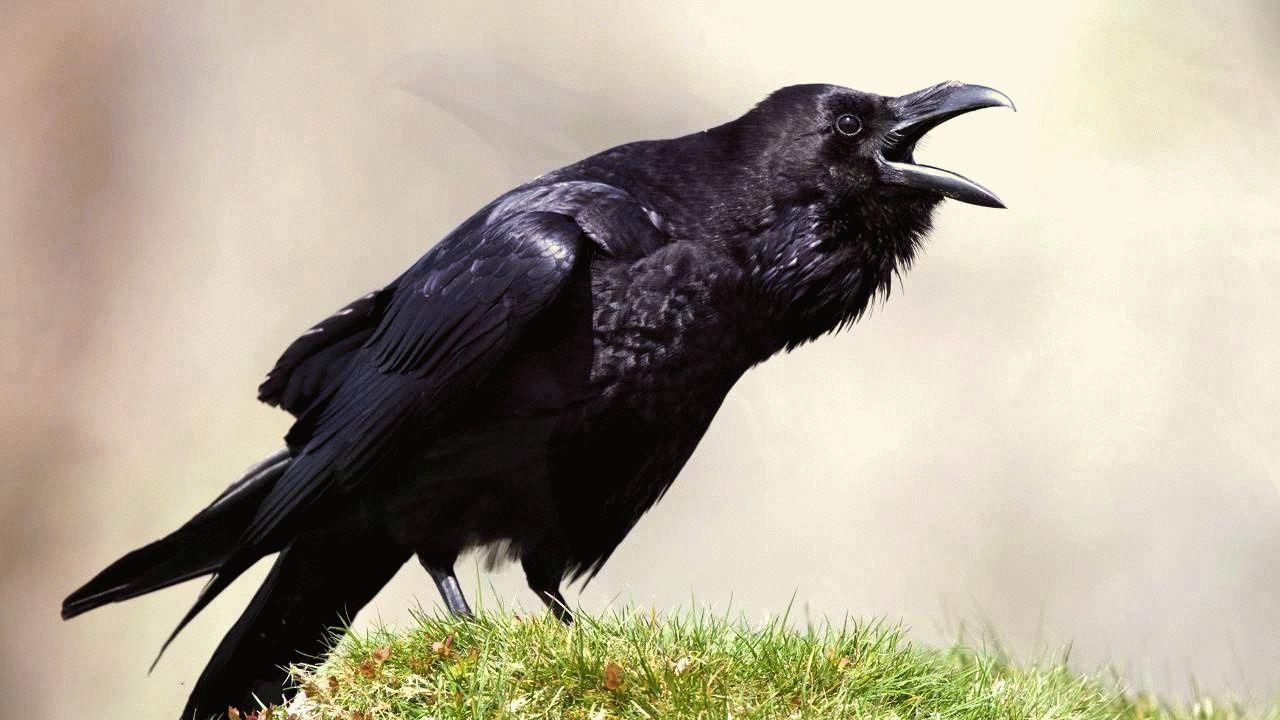 Тотемное животное Ворона – характеристики и значение