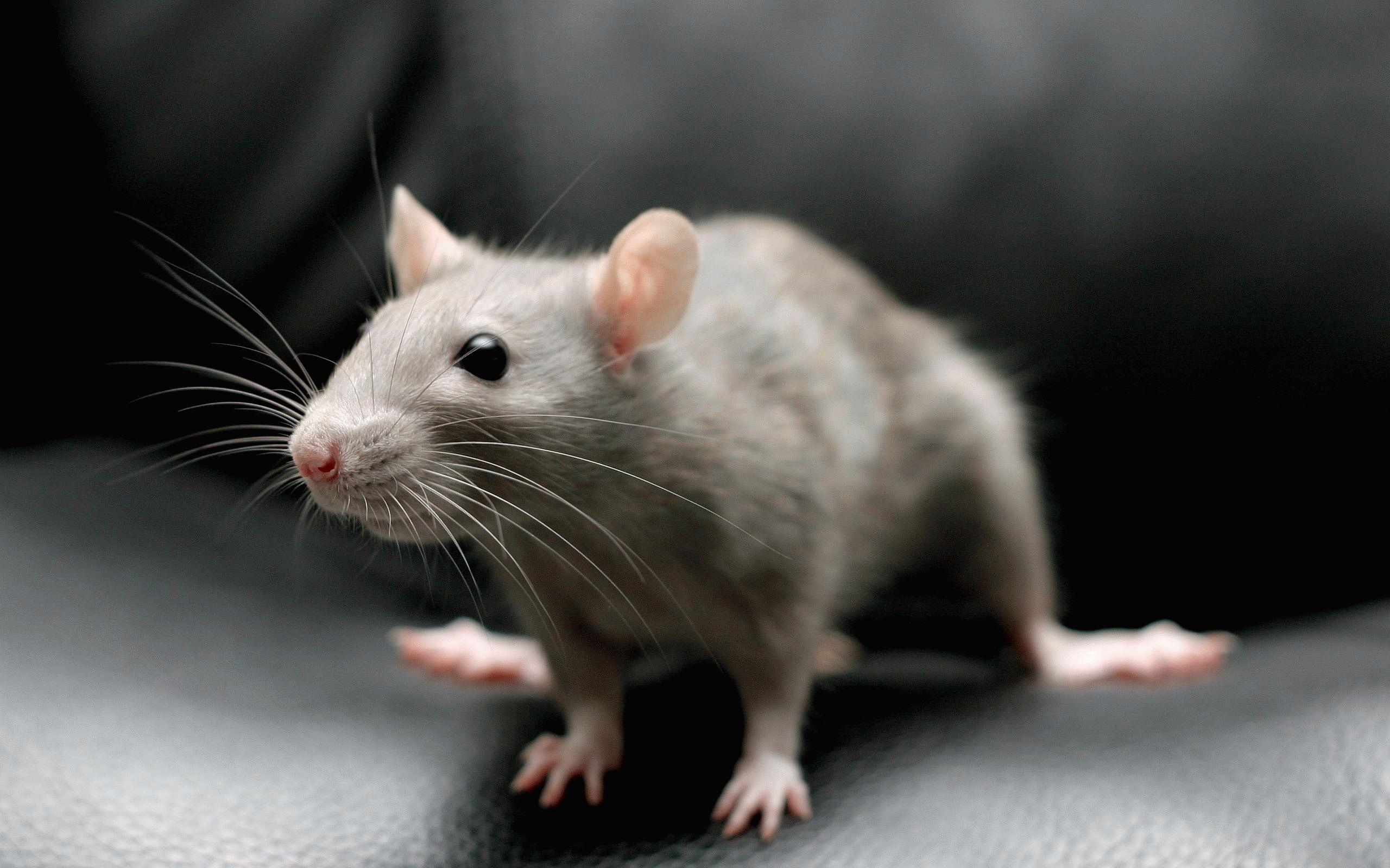 Тотемное животное Мышь – характеристика и значение