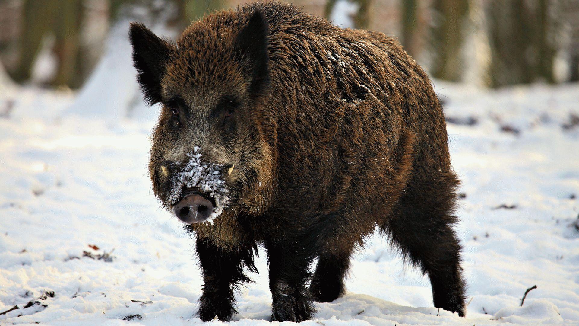 Тотемное животное кабан (вепрь) – характеристика и значение