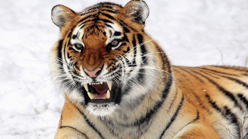 Тотемное животное Тигр – характеристика и значение