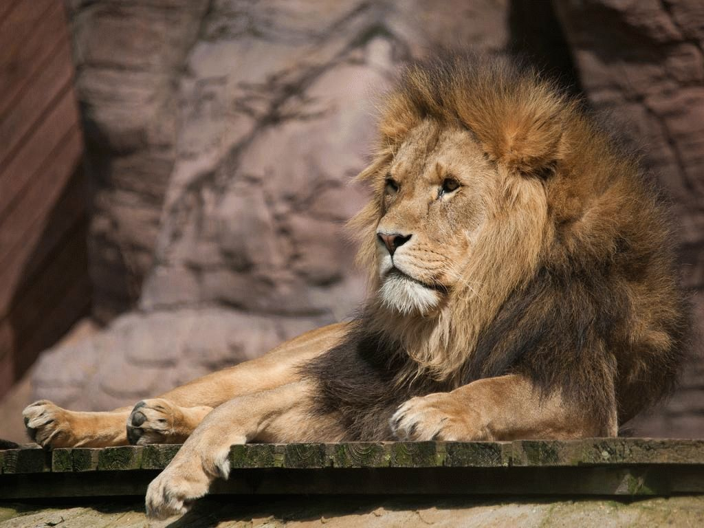 Тотемное животное Лев – характеристика и значение!