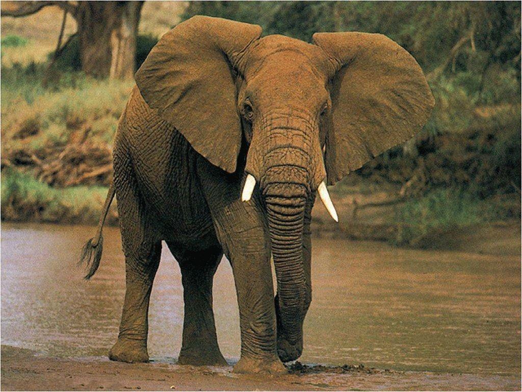 Тотемное животное Слон — характеристика и значение