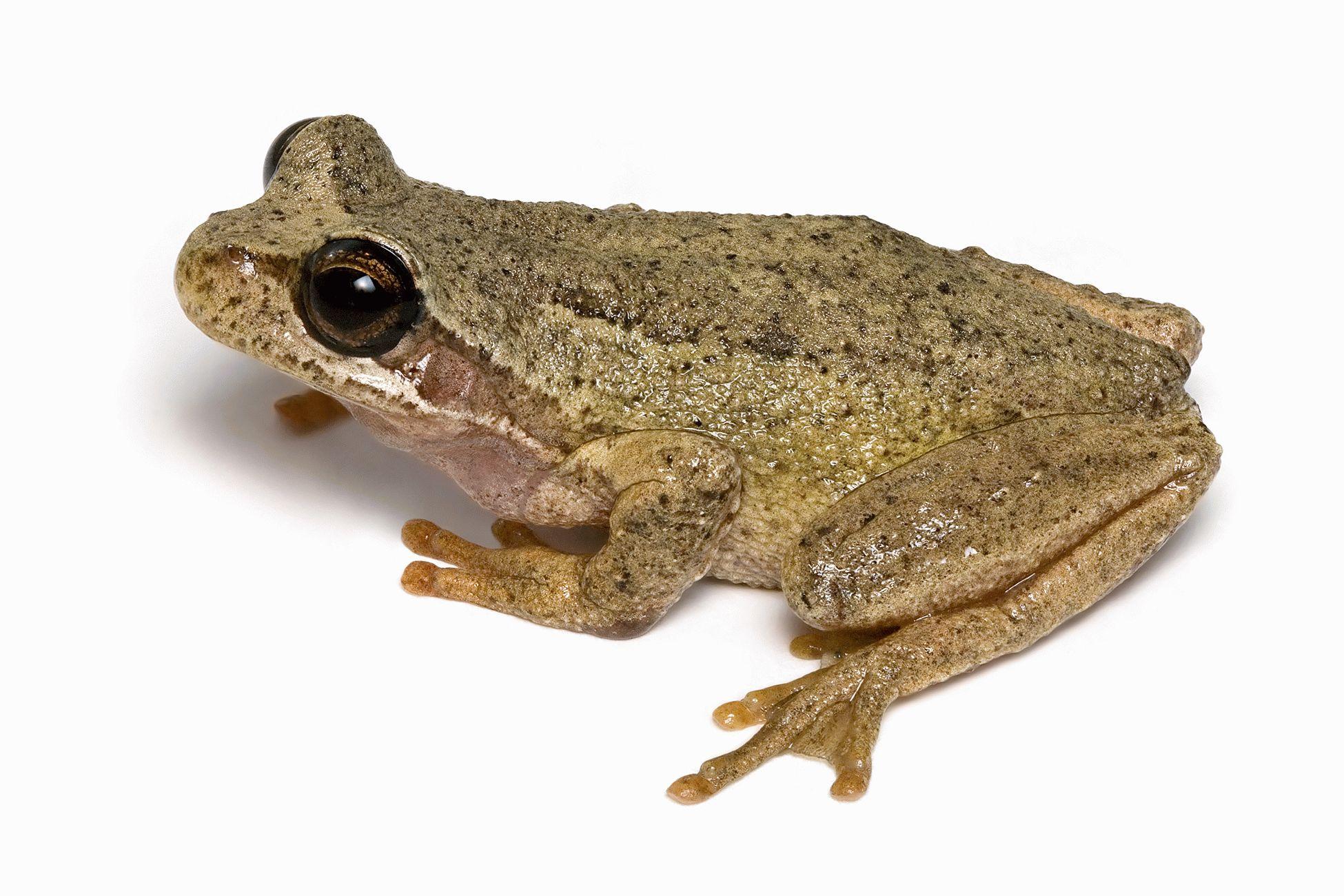 Тотемное животное Лягушка — характеристика и значение