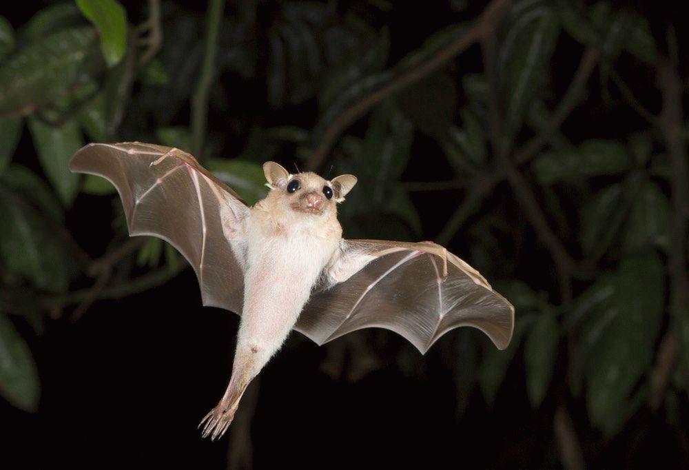 Тотемное животное Летучая Мышь — характеристика и значение