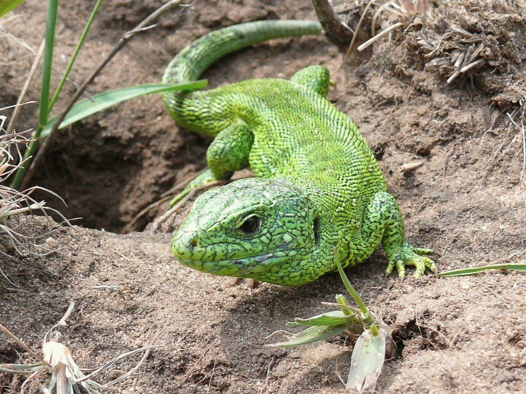 Тотемное животное Ящерица – характеристика и значение