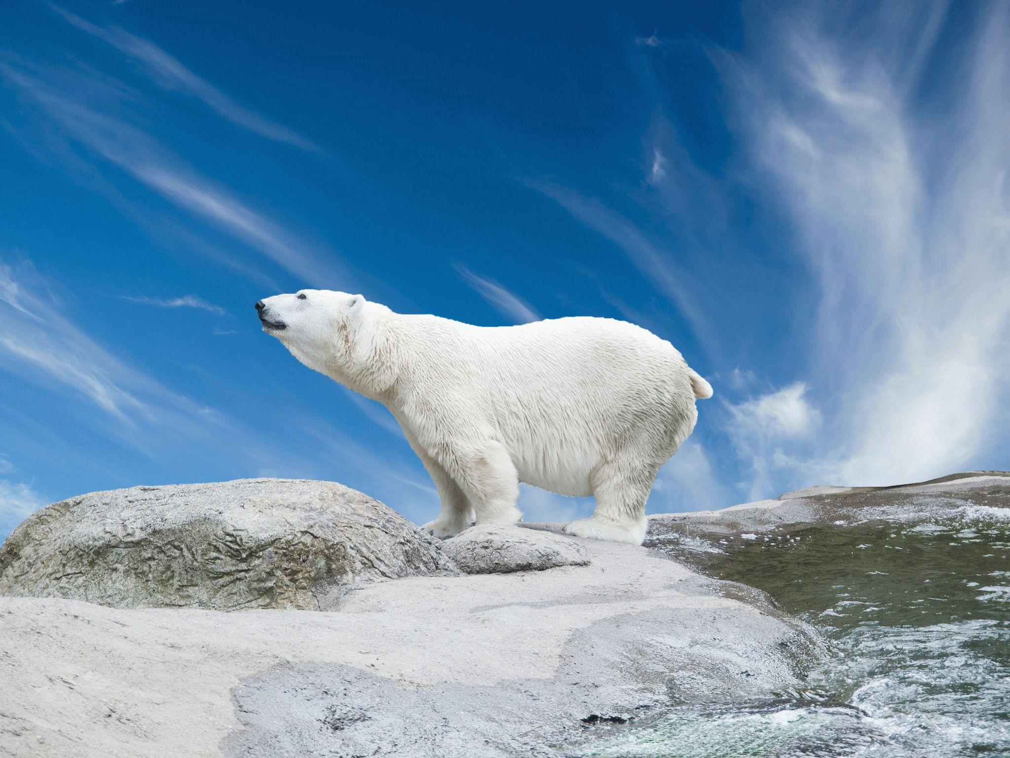 Тотем силы — Белый медведь