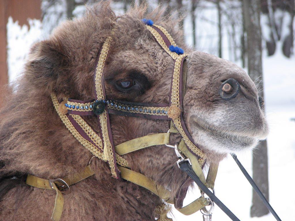 Тотем верблюд: неутомимый труженик