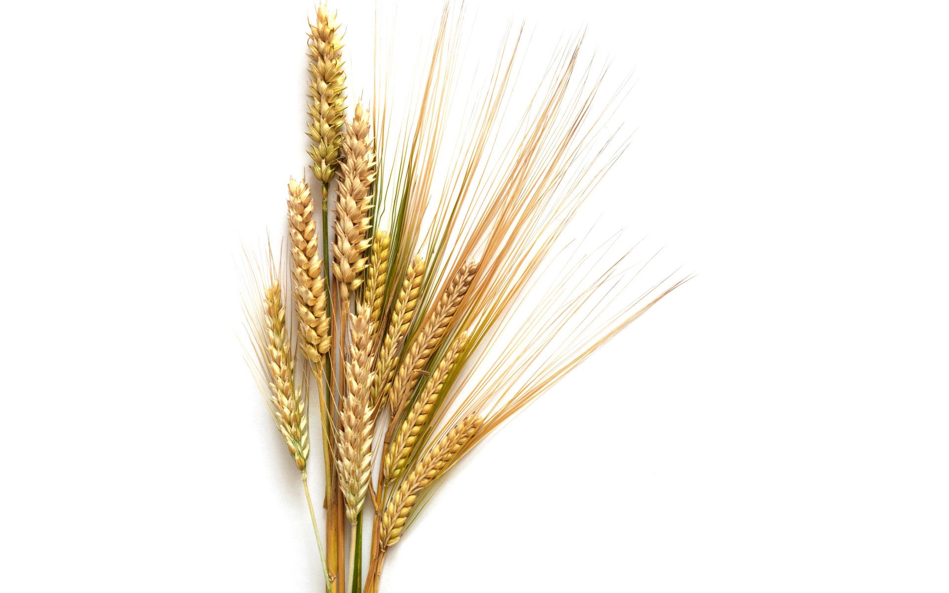 Про, картинки колосья пшеницы и ржи для детей